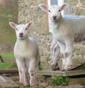 Cute little lambs by Lyn Alderson