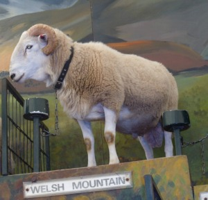 Welsh mountainsheepRESIZED