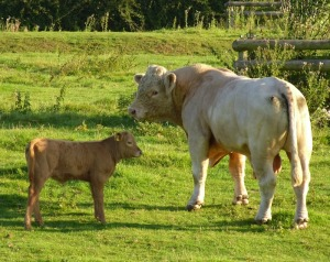 Charolais stock bull and calf