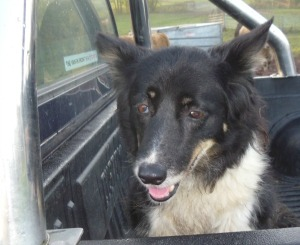 Floss the Sheepdog has a new vocation